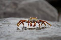 Crabe d'îles de Galapagos Photo libre de droits