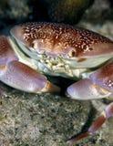 Crabe d'aile chauve-souris Photos stock