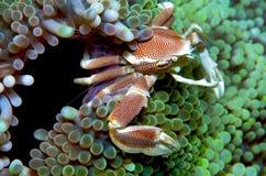 Crabe d'anémone Photos libres de droits