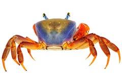 Crabe d'arc-en-ciel Images libres de droits