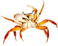 Crabe d'arc-en-ciel sur le blanc Photo stock