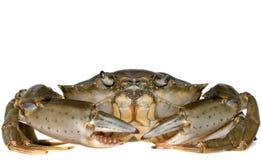 Crabe d'isolement   Photographie stock libre de droits
