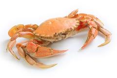Crabe d'isolement sur le blanc Images libres de droits
