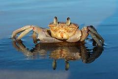 Crabe d'ordinateur de secours sur la plage Photo libre de droits