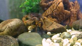 Crabe dans l'aquarium clips vidéos