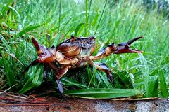 Crabe dans l'habitat naturel photo stock