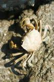 Crabe dans la boue Photographie stock