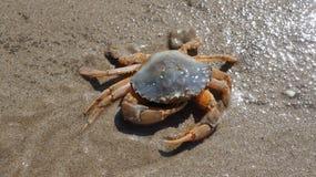 Crabe dans le sable Images stock