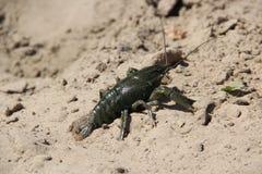 Crabe dans le sable Photos libres de droits
