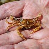 Crabe dans mon grandpa& x27 ; main de s image libre de droits