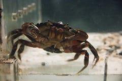 Crabe dans un aquarium à l'aquarium mystique dans le Connecticut mystique photos stock