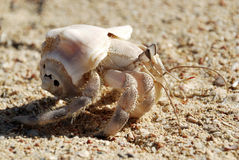 Crabe dans un interpréteur de commandes interactif Images stock