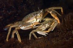 crabe de bain de Bleu-patte Photos libres de droits
