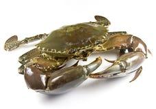 Crabe de boue Photo stock