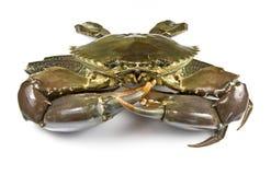 Crabe de boue photographie stock libre de droits