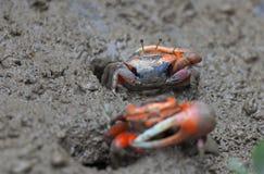 Crabe de boue. Marécage de l'AMI PO. Hong Kong. Image libre de droits