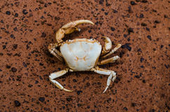 Crabe de champ image libre de droits