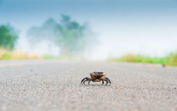 Crabe de champ Photo libre de droits