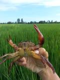 Crabe de champ dans l'agriculteur Thailand de riz Image stock