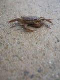 Crabe de champ se reposant paisiblement sur le plancher humide Image libre de droits