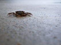 Crabe de champ se reposant paisiblement sur le plancher humide Images libres de droits