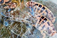 Crabe de cheval frais sur le marché de produits frais Images libres de droits