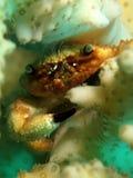 Crabe de corail Photo libre de droits