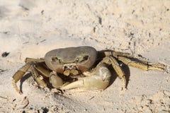 Crabe de corail Photographie stock libre de droits