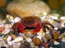Crabe de cramoisi de Philippines Image stock