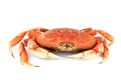 Crabe de Dungeness Images stock