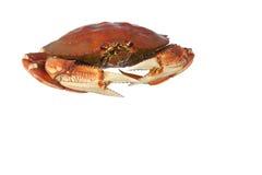 Crabe de dungeness cuit d'isolement sur le blanc Photos libres de droits