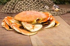 Crabe de Dungeness prêt à cuisiner Photo stock