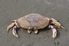 Crabe de Dungeness sur la plage Photographie stock libre de droits