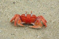 Crabe de fantôme de Galapagos sur Isabela Island Image libre de droits