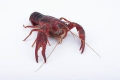Crabe de fleuve images libres de droits