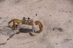 Crabe de Ghost photos libres de droits