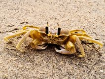 Crabe de Ghost dans l'Inde Image stock