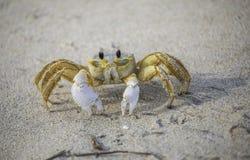 Crabe de Ghost dans le sable Image libre de droits