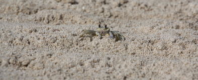 Crabe de Ghost en sable Image stock