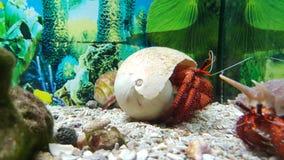 Crabe de Hermet Images libres de droits