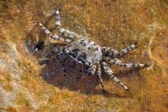 Crabe de la mer Méditerranée Photo libre de droits