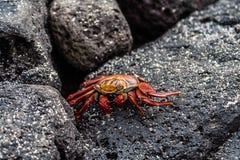 Crabe de lightfoot de sortie Images stock