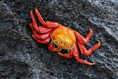 Crabe de lightfoot de sortie parc national sur d'Espanola île, Galapagos Image libre de droits