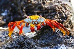 Crabe de lightfoot de sortie parc national sur d'Espanola île, Galapagos Photos libres de droits