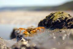 Crabe de mer Photos stock