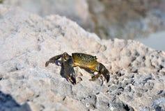 Crabe de mer Photo libre de droits