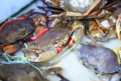Crabe de mer dans la piscine Photos stock