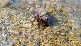 Crabe de mer dans une coquille photos libres de droits