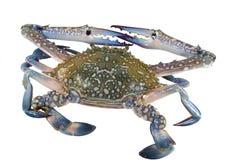 Crabe de natation bleu (mâle) Photographie stock libre de droits