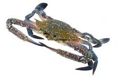 Crabe de natation bleu (mâle) Photo stock